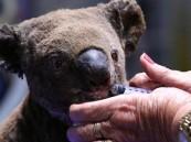 """حملة تبرعات لمساعدة """"الكوالا"""" تنجح في جمع مبلغ غير متوقع !!"""