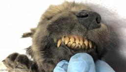 """عمره 18 ألف سنة .. هكذا عثروا على أقدم كلب في العالم """"بشحمه ولحمه"""" !!"""
