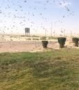 """مكتب الزراعة بالأحساء يكافح أسراب الجراد الصحراوي بـــ""""جنوب يبرين"""""""