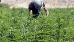 لبنان .. موافقة برلمانية تسمح بزراعة القنب !!