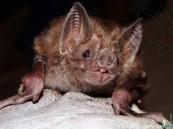 بخلاف كورونا.. علماء يكتشفون فيروس جديد لدى الخفافيش