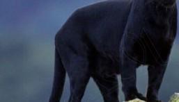 """بالفيديو .. مواطن يوثق ظهور """"نمر أسود"""" أمام المتنزهين في الباحة"""