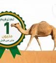 """وزارة """"البيئة"""" تعلن تخطي حاجز المليون للإبل المرقمة"""