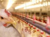 بين أزمة المستورد وفائض الإنتاج … هل يلحق الدجاج بأسعار الألبان؟!