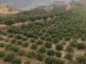 المملكة تحقق قفزة بزراعة 400 ألف شجرة بُنّ بنهاية 2020