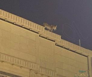السيطرة على أسد في أحد أحياء الرياض (فيديو)