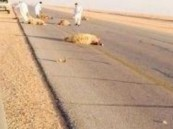 باص معلمات يصطدم بقطيع أغنام على طريق عرعر الدولي