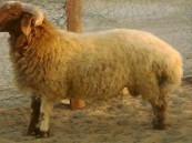 كويتي يبيع خروفاً بمليون ريال شرق السعودية