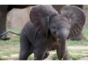 بالفيديو.. فيل صغير ينام كالطفل بعد سماع الأغاني من مربيته