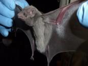 """الصحة: الخفافيش هي المسبب لفيروس كورونا الجديد """"ميرس"""""""