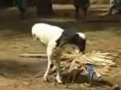 بالفيديو …. خروف مولود بساقين فقط ويمشي بشكل طبيعي