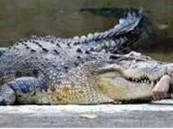 تمساح بلتهم صبيا عمره 12 عاما