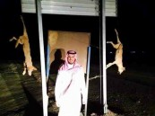 صورة .. مواطن يقتل ذئبين ويعلقهما بلوحة إرشادية لافتراسهما 18 من أغنامه