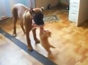 بالفيديو.. قِطّ عنيد ينازع كلباً يفوقه حجماً على قطعة لحم