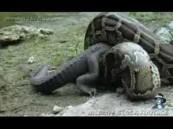 ثعبان ضخم يقتل تمساحا ويبتلعه في حادثة مثيرة
