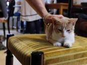 افتتاح أول مقهى للقطط في لندن