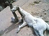 """ظهور حيوان """"المخلوف"""" في عسير يثير فزع المواطنين (صورة)"""