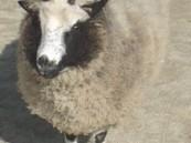 خروف العيد حاول أن يضحي بصاحبته قبل أن تضحي به