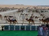 «مزاينة الإبل» تنطلق بقوة وسط منافسة إماراتية- سعودية- قطرية .