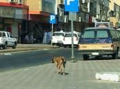 كلب بوليسي يطارد متسوقي قيصرية الأحساء