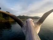 بالفيديو … لقطات ممتعة بعد تثبيت كاميرا على منقار طائر البجع