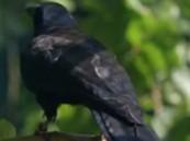 بالفيديو … شاهد ذكاء هذا الطير في حل اللغز !