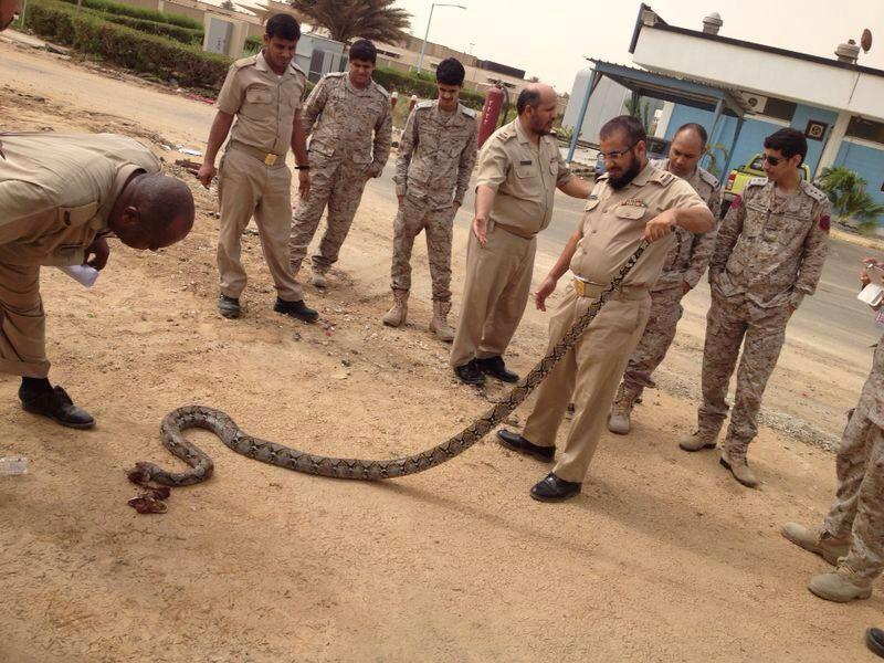 بالصور… قتل حيّة عملاقة طولها 3 أمتار بقاعدة الملك فيصل البحرية