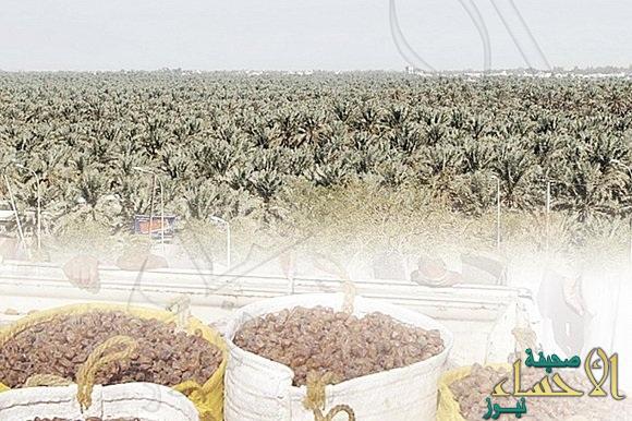 المملكة ثانيا على مستوى العالم في إنتاج التمور وزراعة النخيل صحيفة الأحساء نيوز