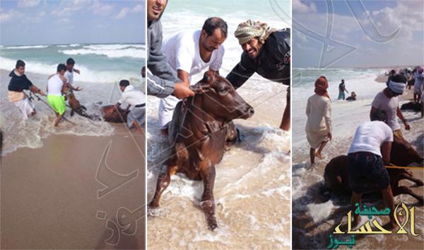 بالصور… أبقار تسبح في البحر.. وعمانيون يصطادونها من الشاطئ