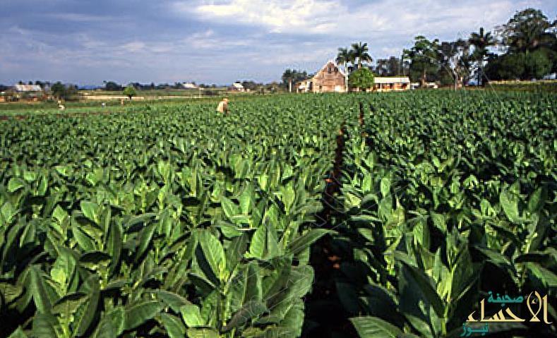 علماء: زهور التبغ قادرة على مكافحة السرطان