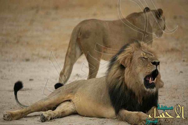 """بالصور.. """"أمريكي"""" يقتل أشهر أسد في إفريقيا.. و """"الصدفة"""" تلقي القبض عليه!"""