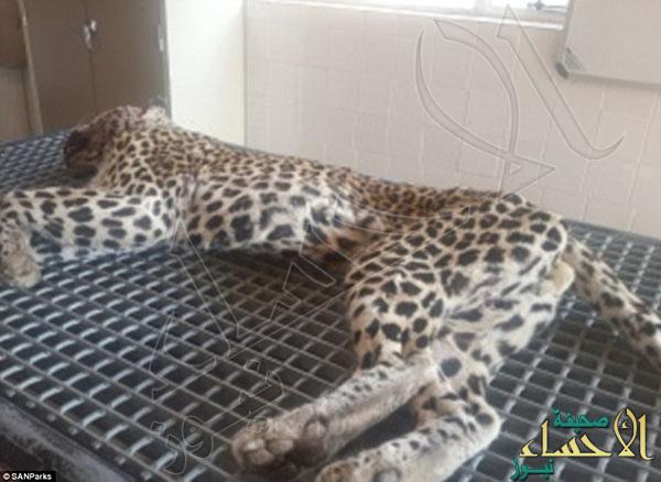 2A31E52600000578-3148222-The_leopard_was_taken_to_the_veterinary_hospital_where_it_was_tr-a-6_1435930960663