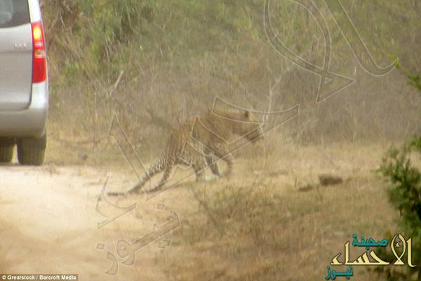 2A32437700000578-3148222-After_being_hit_the_leopard_sneaks_back_off_to_the_bush_limping_-a-44_1435920237609