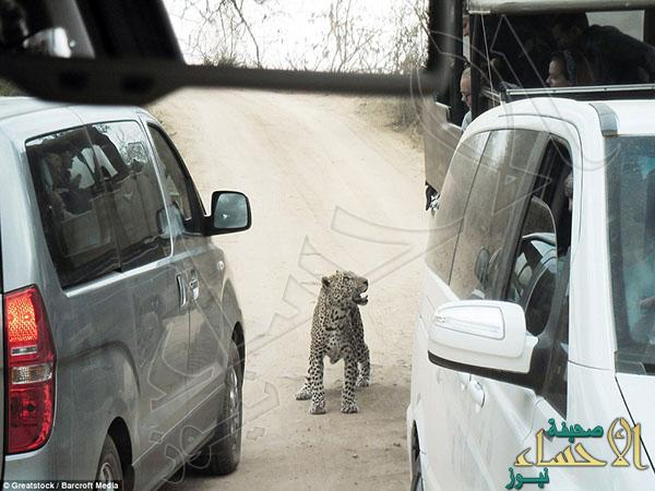 2A3243B200000578-3148222-The_leopard_firstly_provided_a_great_photograph_for_the_tourists-a-37_1435920237280