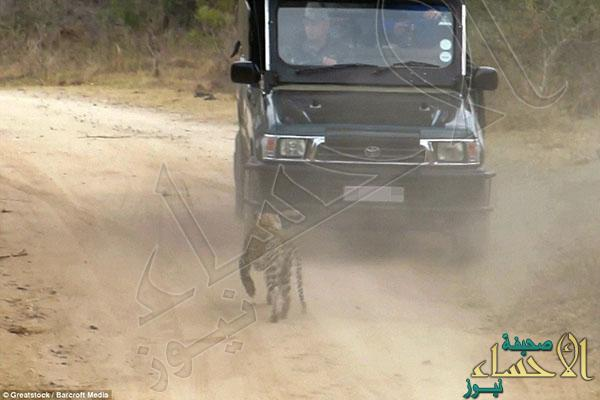 2A3243CA00000578-3148222-The_leopard_stalked_the_tourist_vehicle_and_was_said_to_have_sur-a-39_1435920237316