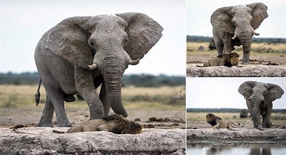 بالصور.. أسد ينجو من الموت سحقاً تحت أقدام فيل غاضب في اللحظات الأخيرة