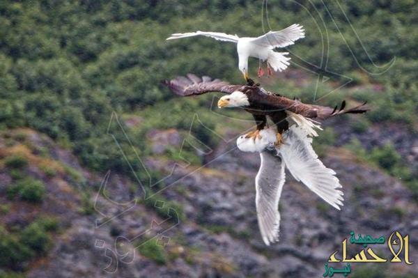 بالصور.. طائر نورس يكافح لتخليص رفيقه من بين مخالب نسر