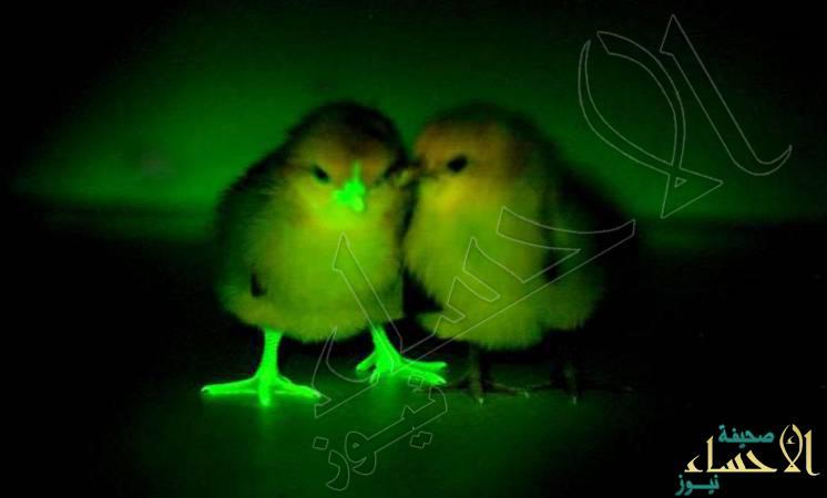 دجاج معدل جينيا يُنير ليلاً .. ويلقي الضوء على مكافحة أنفلونزا الطيور