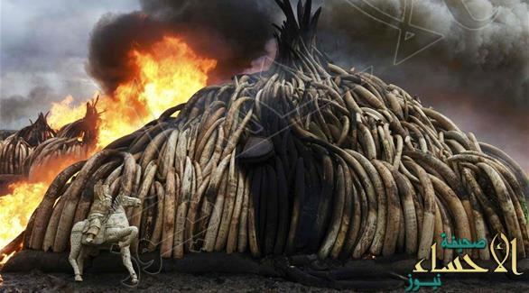 صور رهيبة لإحراق كينيا 105 أطنان من العاج غير الشرعي !!