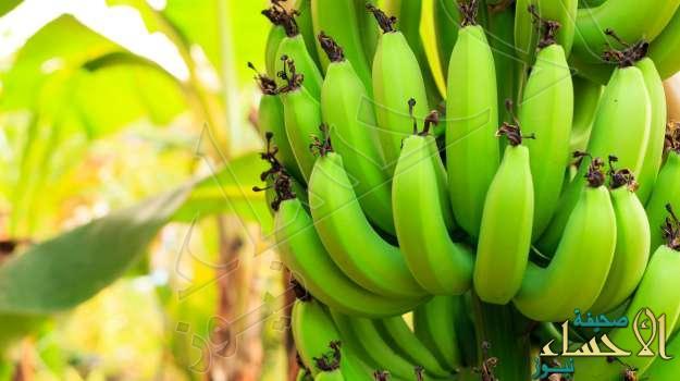 تعرفوا معنا على فوائد الموز الأخضر …!!