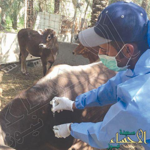 في #الأحساء السيطرة على مرض التهاب الجلد العقدي في الأبقار