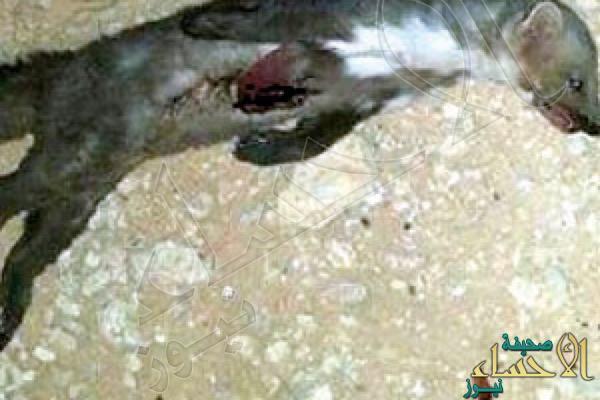 """""""المسارة"""" آكلة لحوم البشر تهدد حياة سكان قرى حائل"""