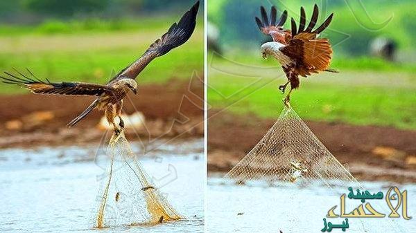 شاهد.. الطائر الذي وصفه الرسول بفاسق وهو يسرق سمك الصياد