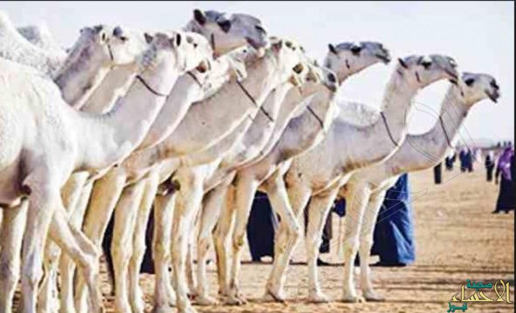 """بهذه الشروط.. """"الوزراء"""" يوافق على عودة مهرجان الملك عبدالعزيز للإبل"""
