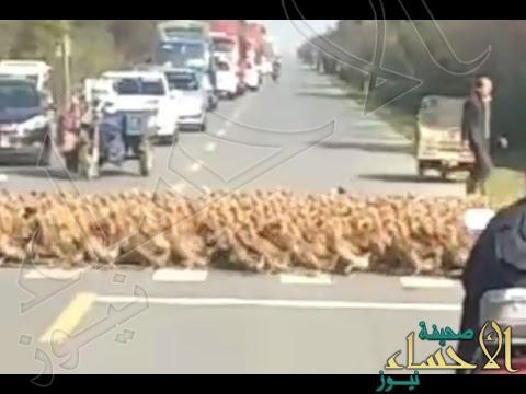 شاهد.. 20 ألف بطة تعبر الطريق والمارة ينتظرون!!
