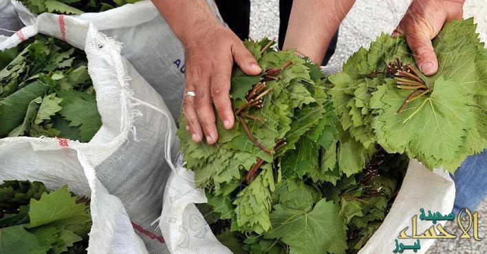 دارسة: ورق العنب يكبح نمو خلايا سرطان الرئة