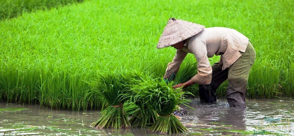 نفوق نحو 20 ألف فدان من حقول الأرز في فيتنام