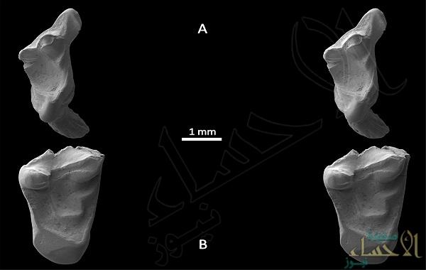 اكتشاف أسنان متحجرة في بريطانيا للإنسان الأول