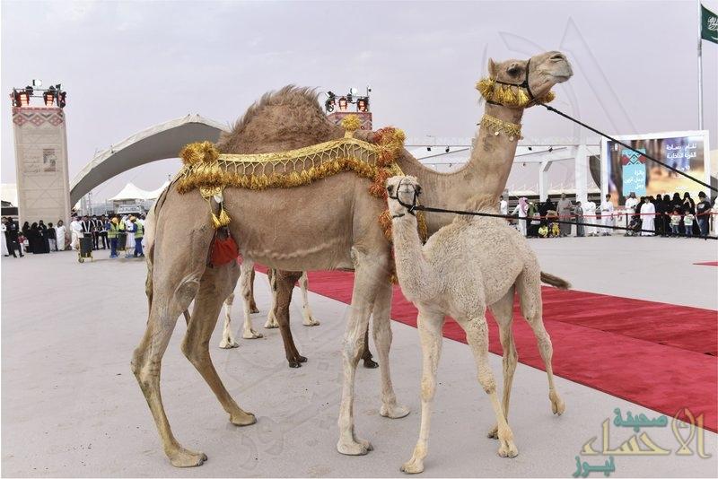 غداً.. انطلاق فعاليات مهرجان الملك عبد العزيز للإبل في نسخته الثانية