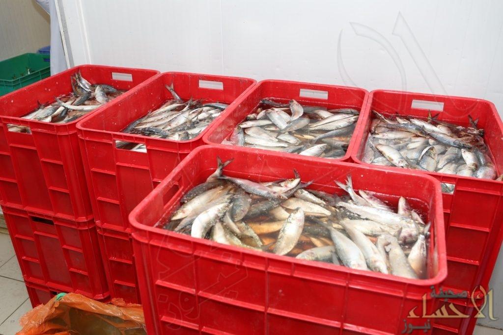 """شاهد بالصور.. مُصادرة أكثر من """"ربع طن"""" أسماك فاسدة قبل تداولها في الأحساء"""
